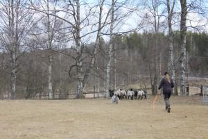 Yxi herding in 2016